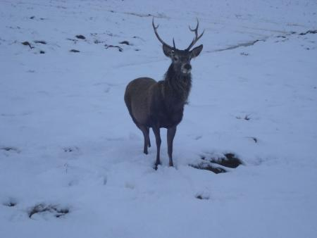 A stag in Winter